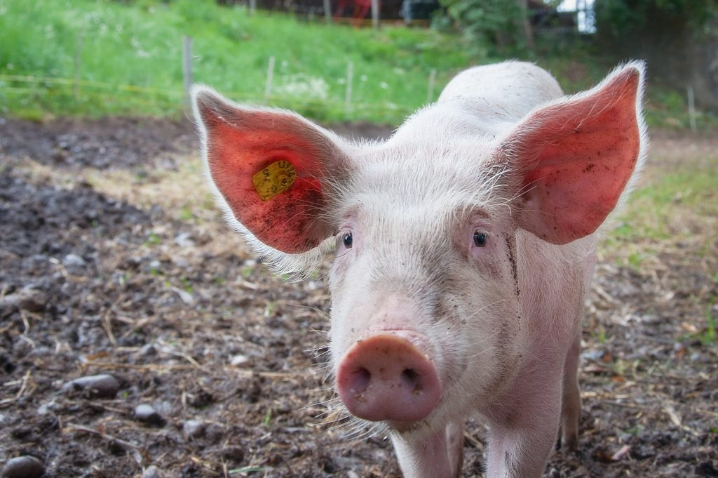 Pig | From the blog of Nicholas C. Rossis, author of science fiction, the Pearseus epic fantasy series and children's books