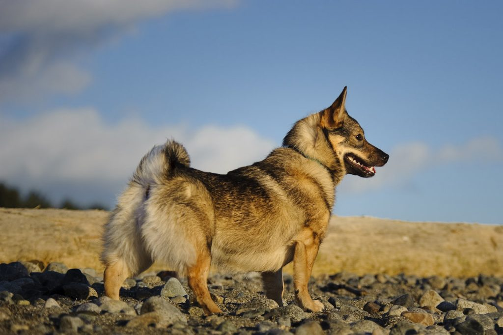 Swedish Vallhund | From the blog of Nicholas C. Rossis, author of science fiction, the Pearseus epic fantasy series and children's books